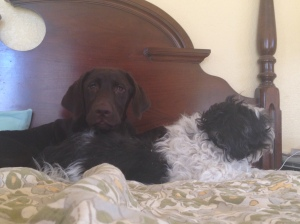 My new puppy, Nelly (the lab), and my constant companion JJ (the shihtzu)